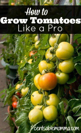 how to grow tomatoes like a pro centsable momma. Black Bedroom Furniture Sets. Home Design Ideas